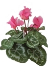 Cyclamen pink 3 - Silk Flowers Artificial Flower Arrangement